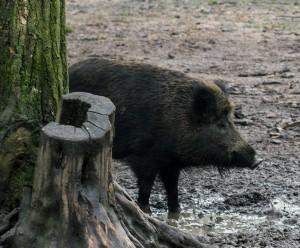Wildschwein an Baum